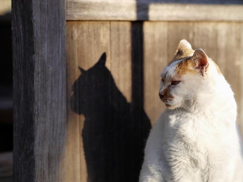 夕陽を受けてる茶白猫の影3