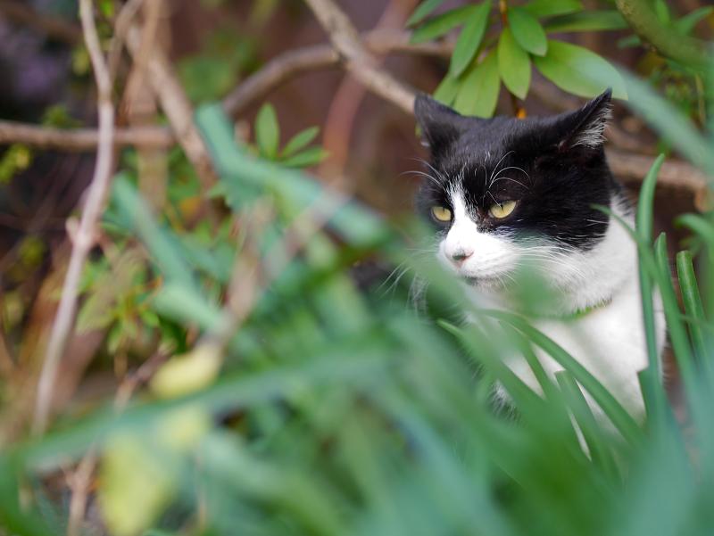 茂みの中の黒白猫の視線1