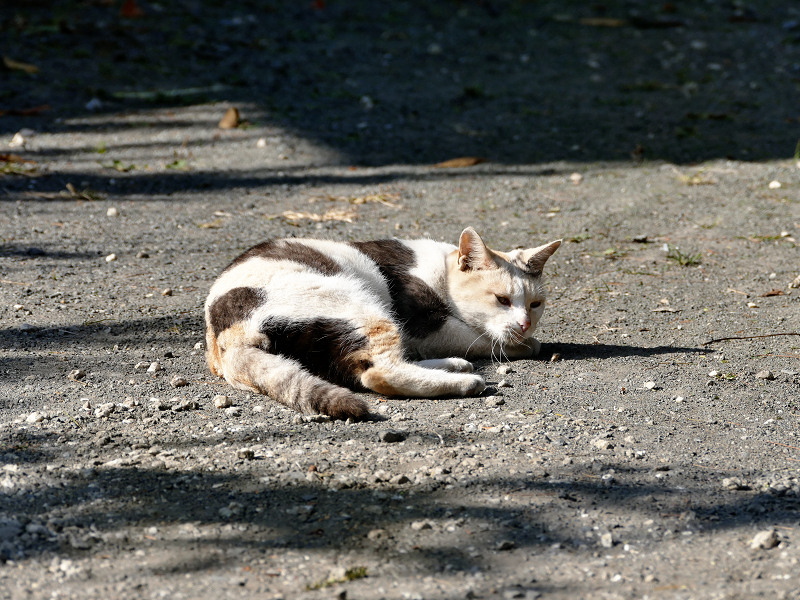光と影と転がる薄三毛猫2