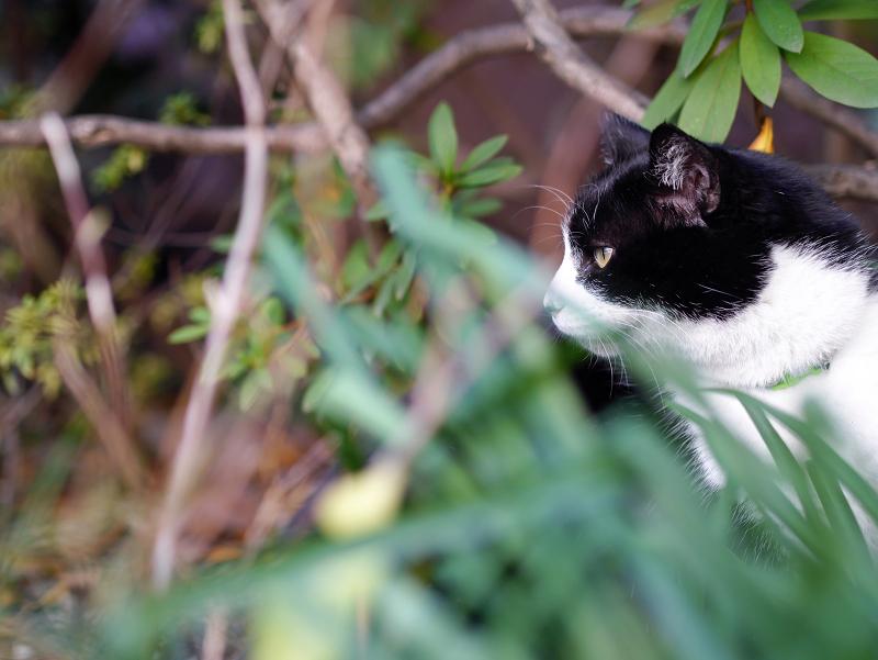 茂みの中の黒白猫の視線2