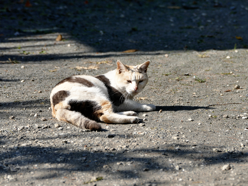 光と影と転がる薄三毛猫3