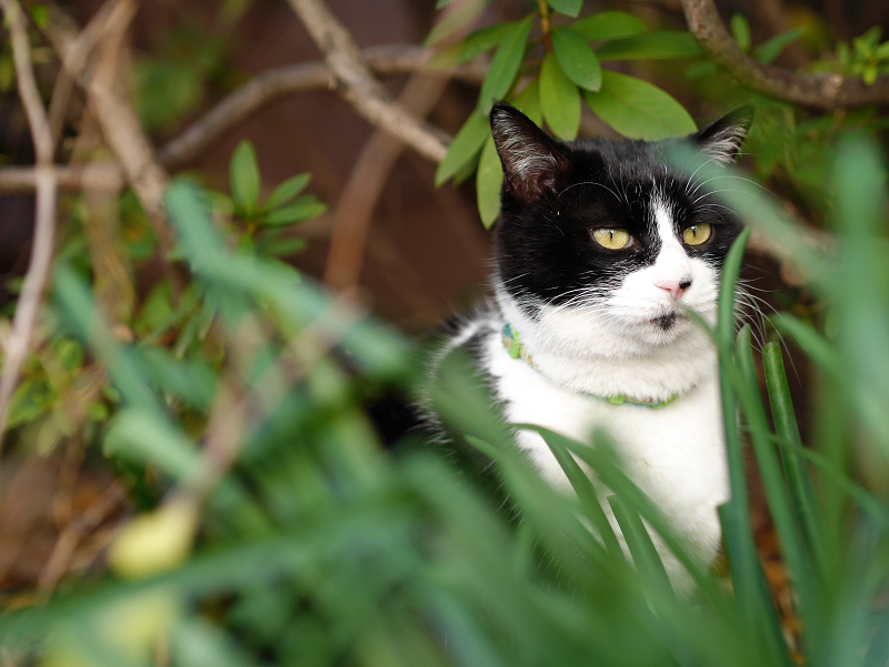 茂みの中の黒白猫の視線3