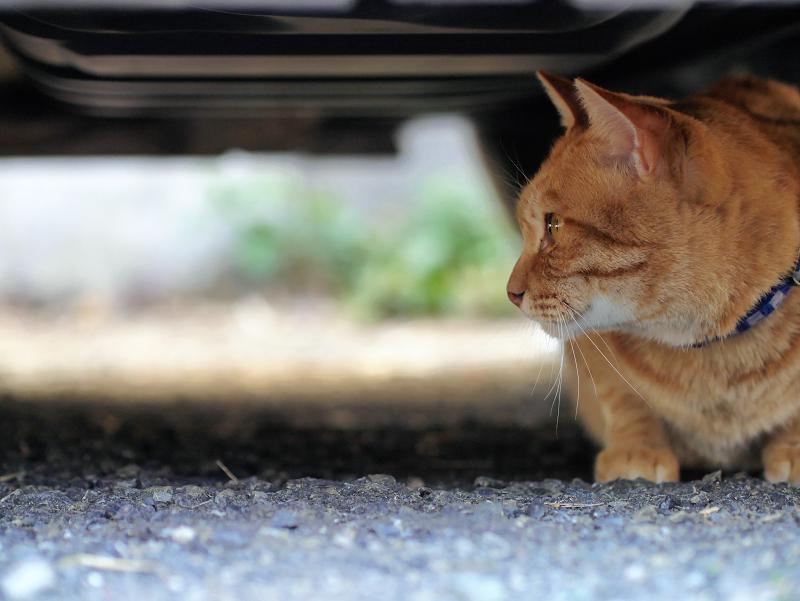 車のしたにいる茶トラ猫