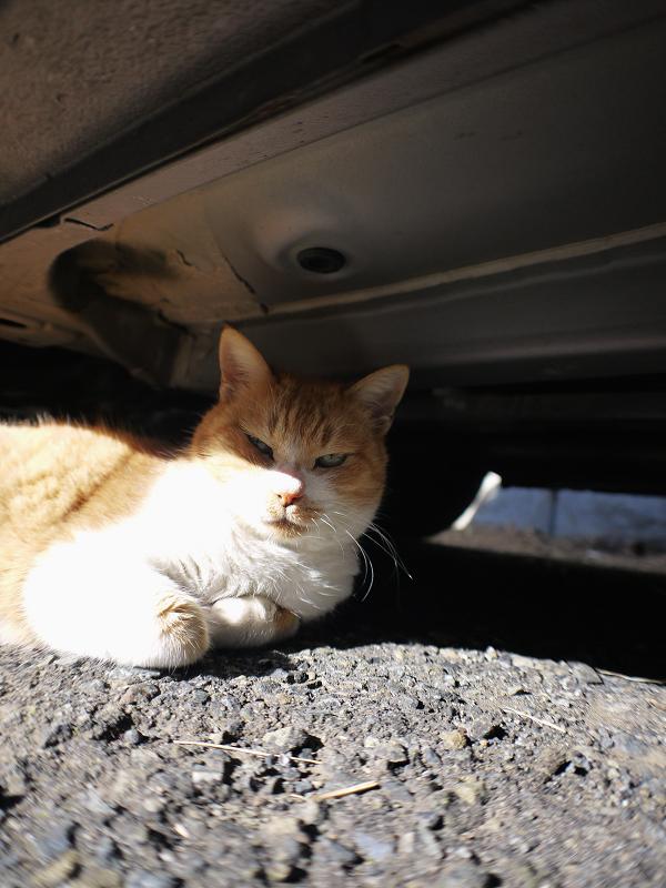 車のしたにいる茶白猫