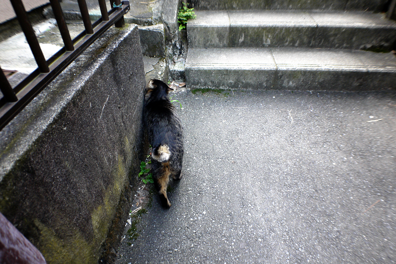 階段手前のキジトラ猫2