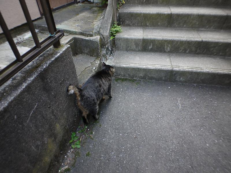 階段手前のキジトラ猫3