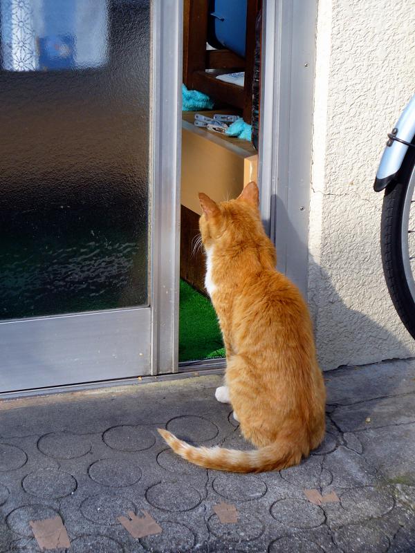 玄関から中を覗いてる茶白猫1