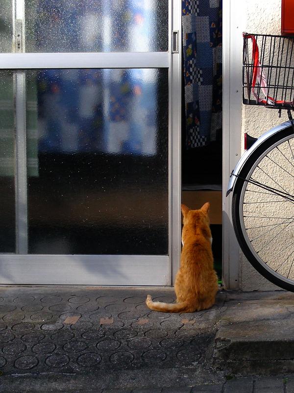 玄関から中を覗いてる茶白猫2