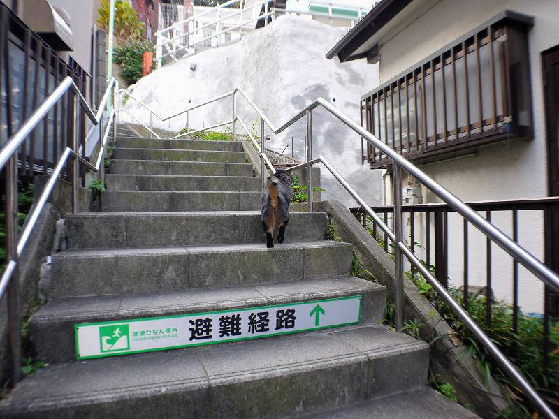 階段を駆け上がるキジトラ猫1