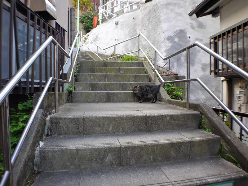 階段を駆け上がるキジトラ猫3