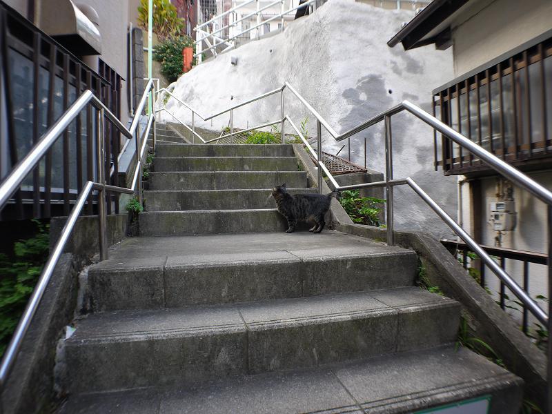 階段を駆け上がるキジトラ猫4