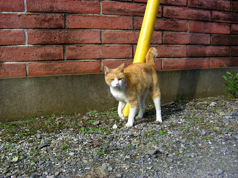 赤レンガと茶白猫1