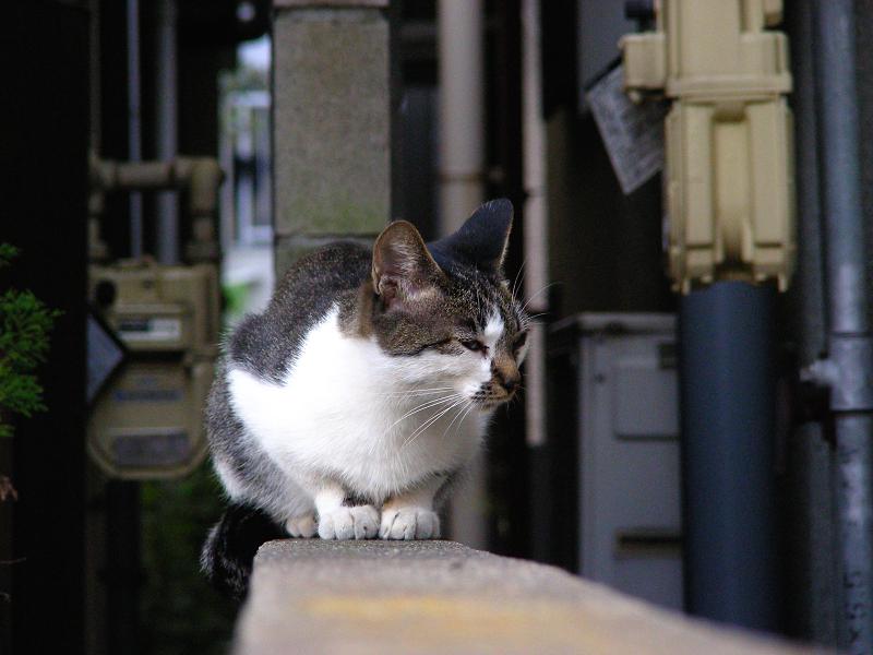 ブロック塀とキジ白猫1