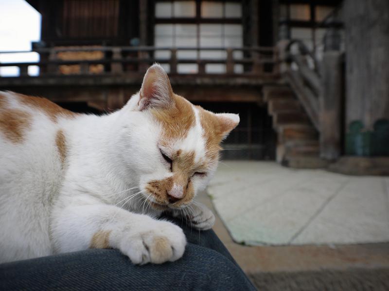 膝の上で寝てしまいそうな茶白猫1