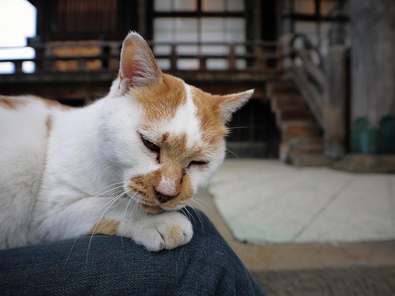 膝の上で寝てしまいそうな茶白猫2