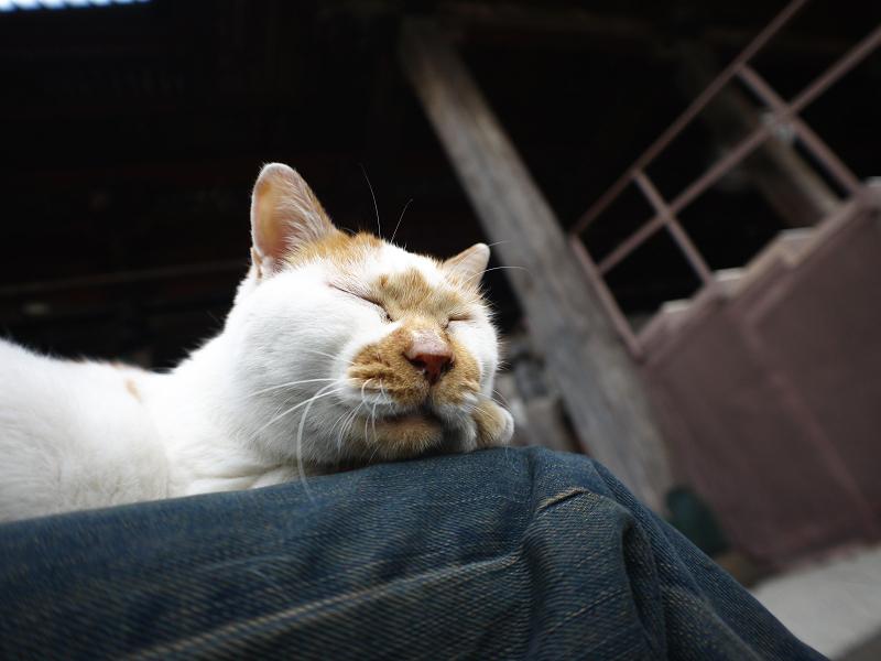 膝の上で寝てしまいそうな茶白猫3