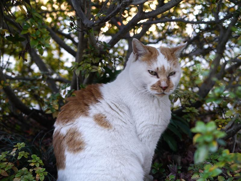茂みの中の茶白猫1