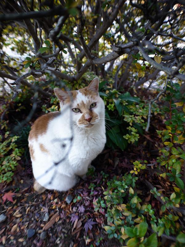 茂みの中の茶白猫2