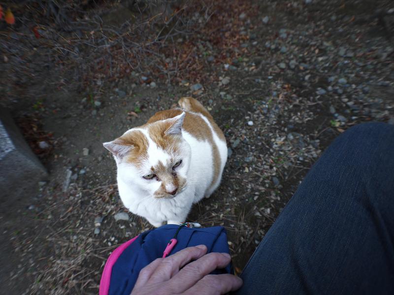 茂みの中の茶白猫3