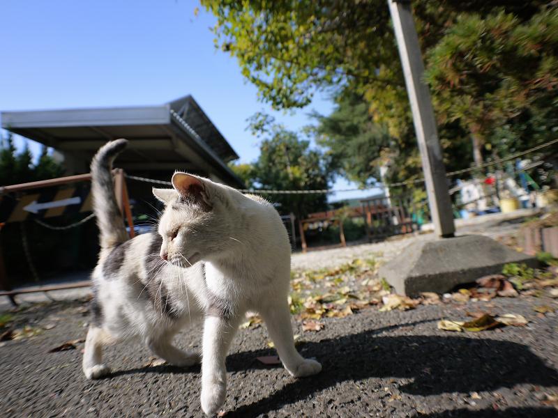 秋青空と薄三毛猫2