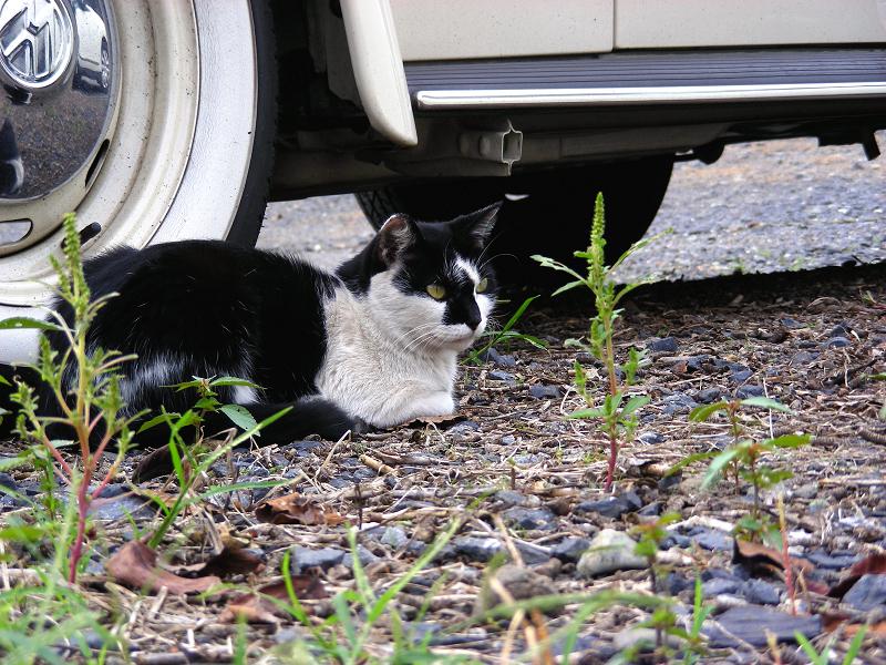 車の横の黒白猫1