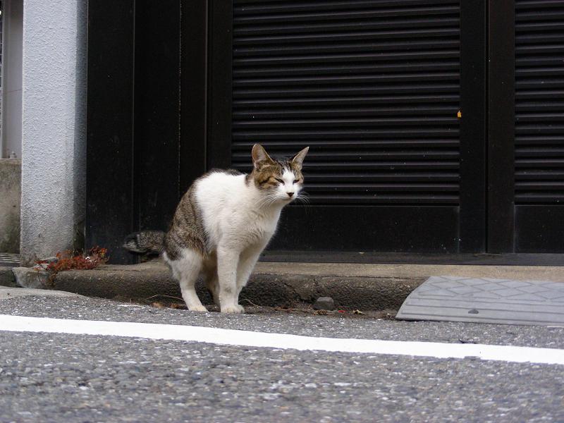 町なかのキジ白猫1