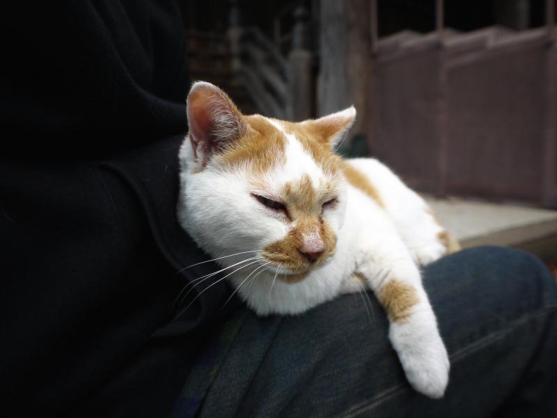 膝に乗って寝ちゃった茶白猫1