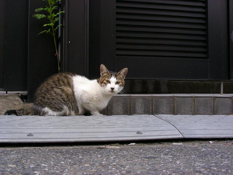 町なかのキジ白猫2