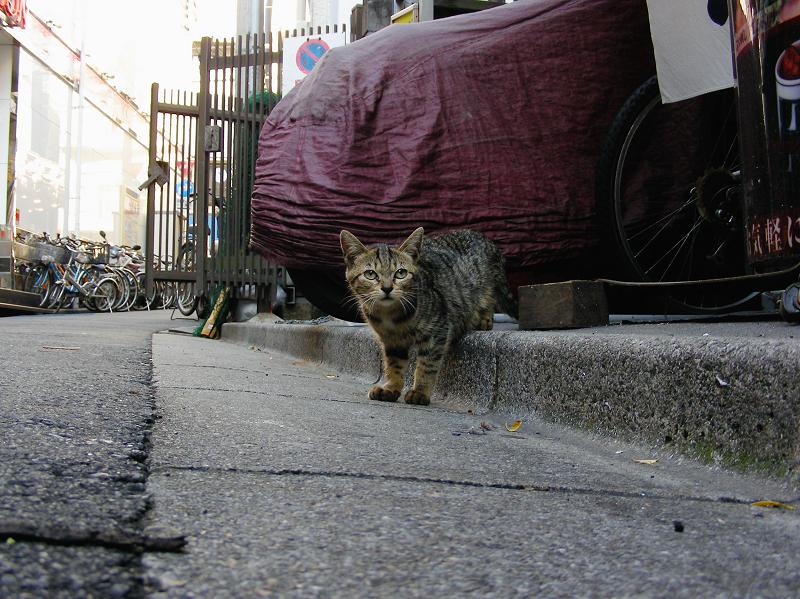路地縁石とキジトラ猫2