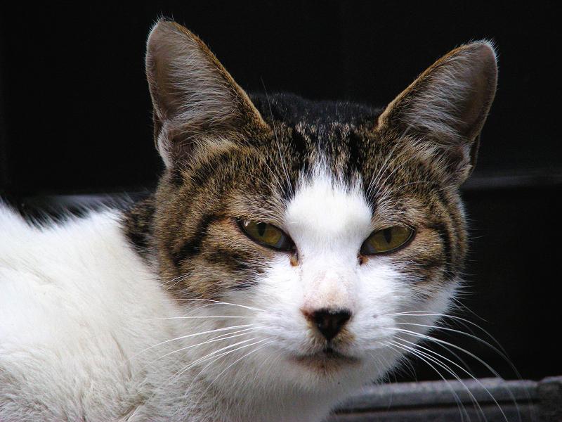 町なかのキジ白猫3