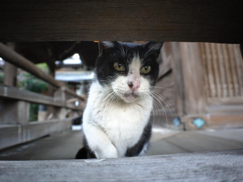 古堂欄看護師の黒白猫1