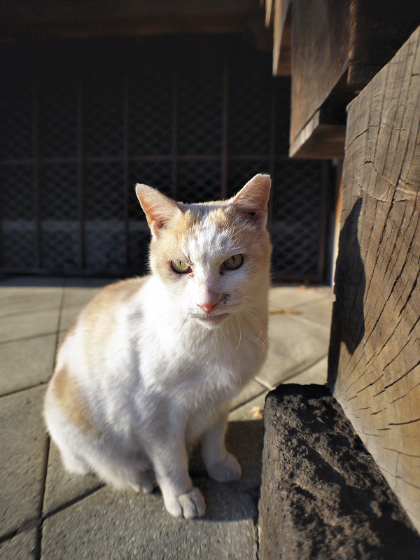 柱と白茶猫3