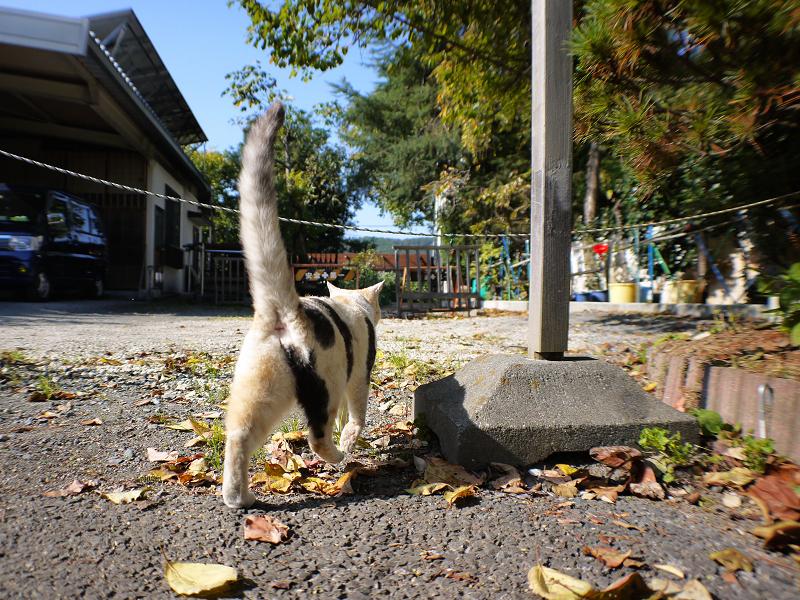 秋の日差しと薄三毛猫3