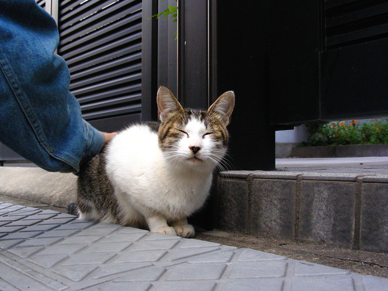 町なかキジ白猫1