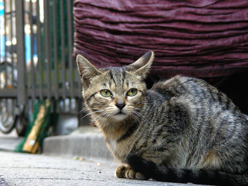 飲み屋街のキジトラ猫1