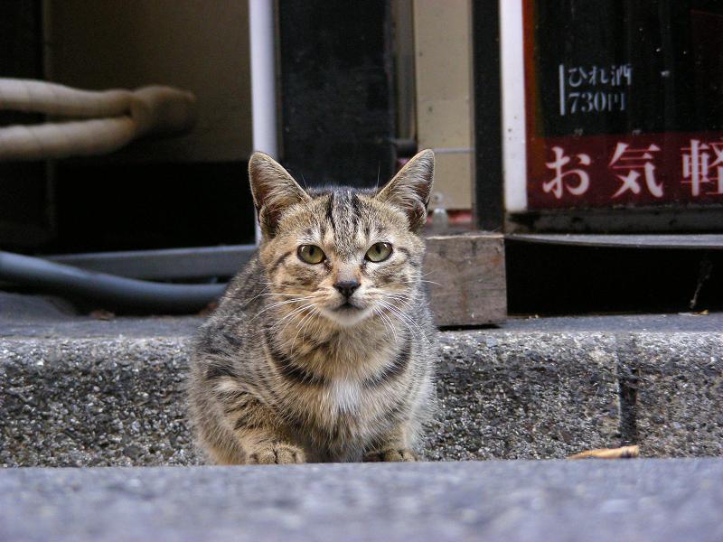 飲み屋街のキジトラ猫2