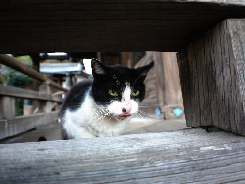 濡れ縁越しの黒白猫の表情1