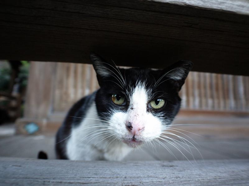 濡れ縁越しの黒白猫の表情2