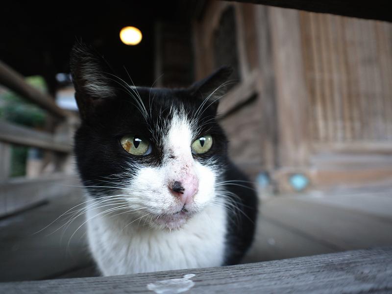 濡れ縁越しの黒白猫の表情3
