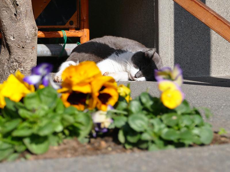 鮮やか草花とグレー白猫1