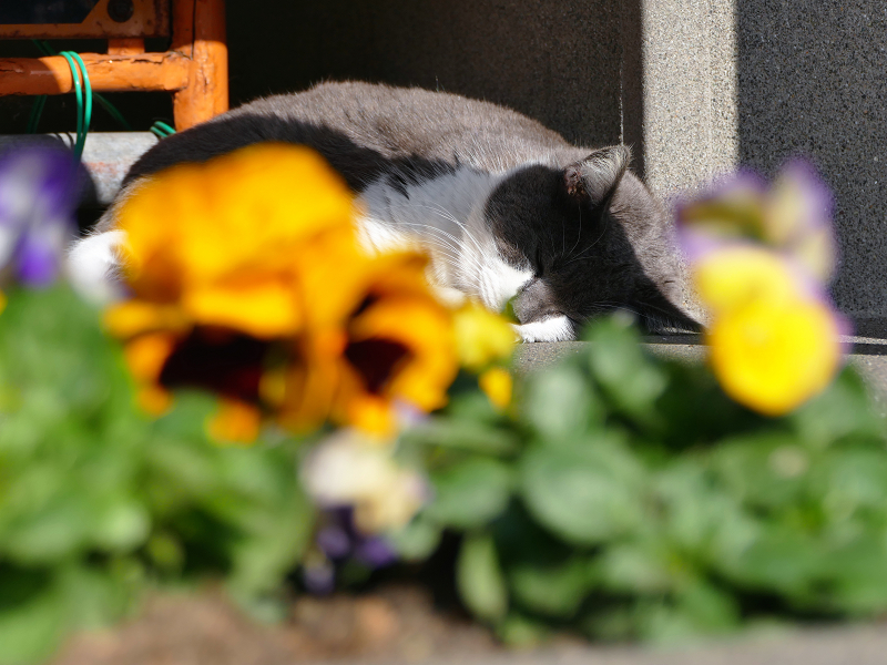 鮮やか草花とグレー白猫2