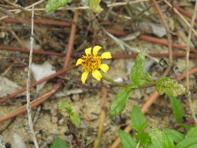 13ネコノシタの花