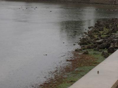 奈多海岸のオゴノリ