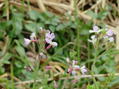 4ハマダイコンの花