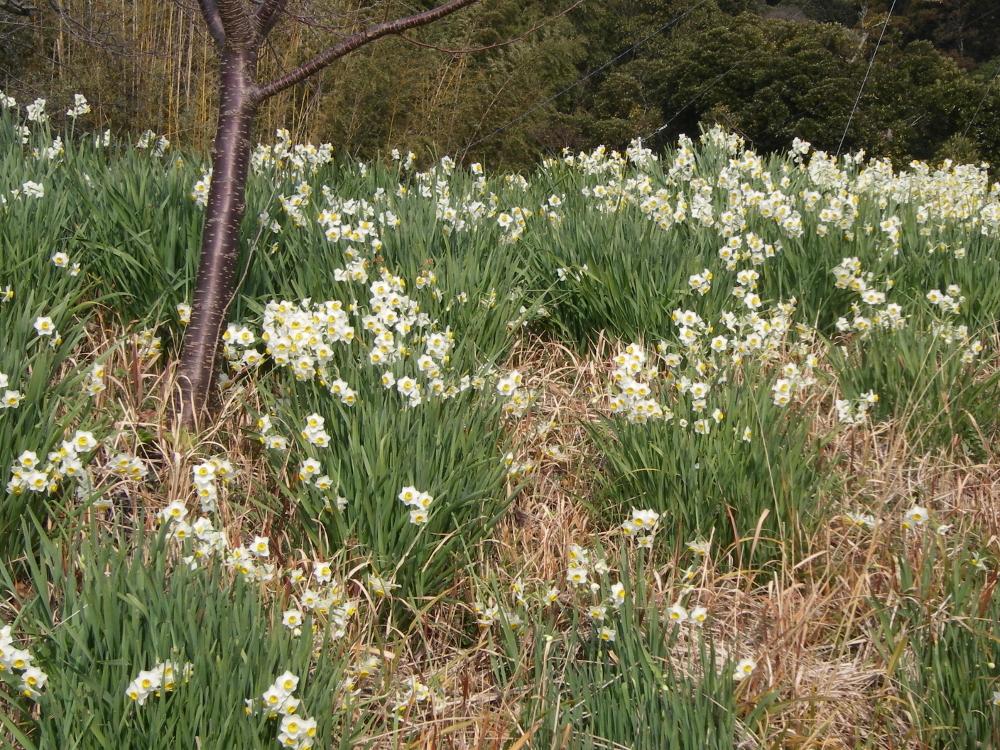 平成26年2月1日きれいに咲いたすいせん