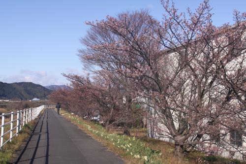 IMG_6807_convert_20170112112138山の手桜①