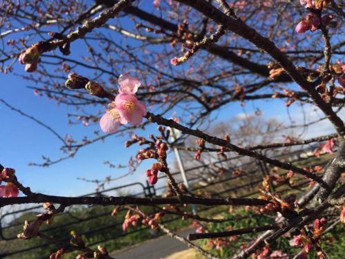 2.6山の手桜1