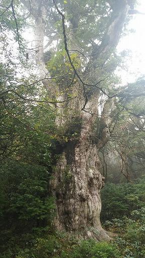上段デッキから見た縄文杉