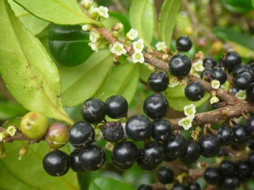 ハマヒサカキの実と雌花