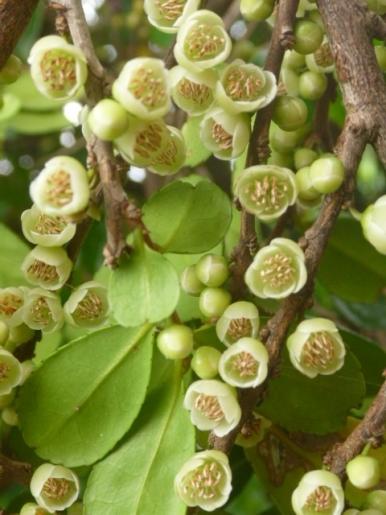 ハマヒサカキの雄花